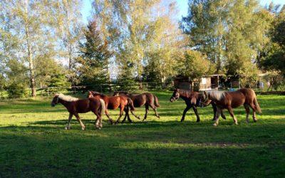 Ernährung von PSSM-Pferden