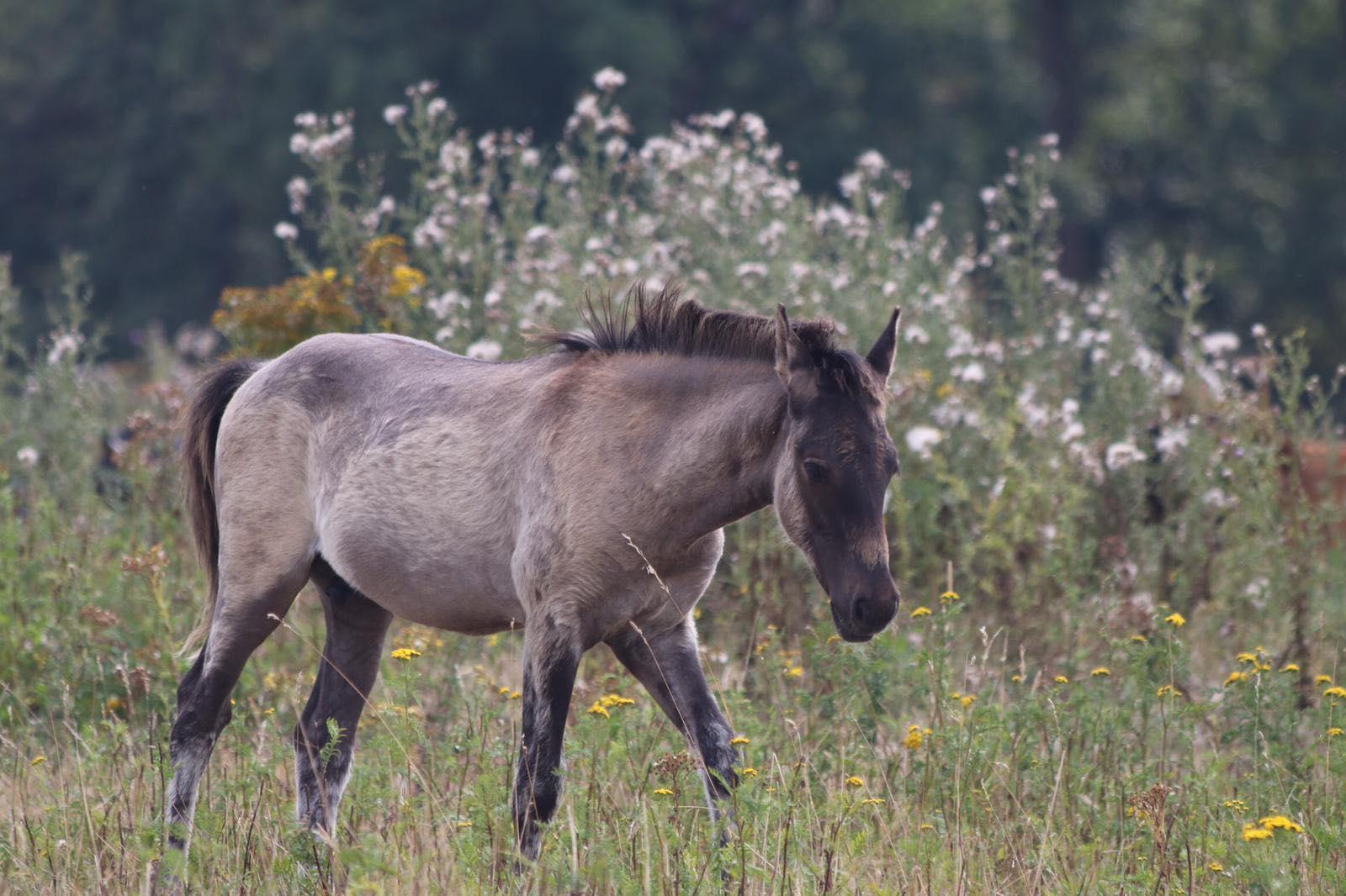 Konik Pferde